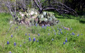 cactus-and-bluebonnets1-300x186